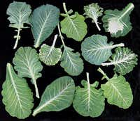 These leaves show many different landraces of collard greens from the American South.( Baker Creek Heirloom Seed Co.   - MCT)
