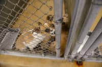 Dogs await adoption at Garland Animal Services.( ROSE BACA/neighborsgo staff photographer )