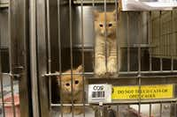 Kittens await adoption at Garland Animal Services.( ROSE BACA/neighborsgo staff photographer )