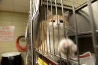 A cat awaits adoption at Garland Animal Services.( ROSE BACA/neighborsgo staff photographer )