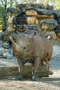 Last out of the Large Mammal Building was Moyo, a black rhinoceros who headed south to an Austin sanctuary in hopes of finding that special someone.(File 2011 - Dallas Zoo)