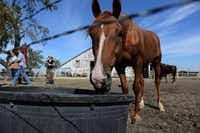 Khaleesi, a rescue horse, drinks water from a trough Sept. 23 at Becky's Hope Horse Rescue in Frisco.(Photos by ROSE BACA - neighborsgo staff photographer)