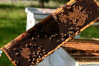 Honey bees swarm a layer of honeycomb at Phil Lewis and Jay Houston's hives in Garland.Photos by Rose Baca - neighborsgo staff photographer