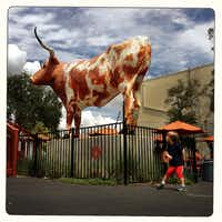 This 12-foot longhorn greets visitors behind the UT Co-op on Guadalupe Street in Austin.