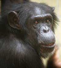 Bon Bon in 1996 (Courtesy/Dallas Zoo)