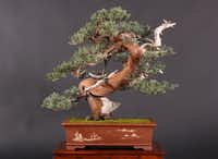 Western Juniper is among bonsai trees to be featured in the American Bonsai Exhibit at the Dallas Arboretum March 5-6.