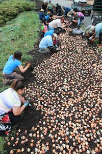 Seasonal workers plant more than 500,000 spring-blooming bulbs at the Dallas Arboretum on Dec. 20. The bulbs are kept refrigerated prior to planting and will be ready to be viewed when Dallas Blooms opens on Feb. 22.Photo by MICHAEL MULVEY