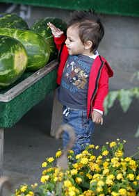 18 month-old Kye Blake, of Allen, was delighted at finding the water melon at the the Collin County Farmers Market in Plano, which was having their opening day on Saturday, April 20, 2013.(Stewart F. House - Special Contributor)