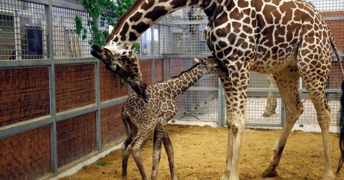 It's a girl! Dallas Zoo's baby giraffe is busy nursing ...