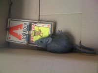 One of the rats pulled from criminal court Judge Julia Hayes' courtroom ceiling in 2013.