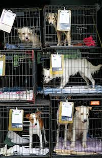 Rescue dogs waited  before being boarded at Boykin Kennels in Dallas on Saturday. About forty dogs from Palm Valley Animal Center in Edinburg are on their way to adoption shelters in northern states.(Andy Jacobsohn - Staff Photographer)