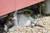 Chester the cat, of McKinney's Chestnut Square Historic Village likes his patrol post under one of The Taylor House, built in 1863. Here, he is out of the sun and able to watch over the resident dwarf goats in the village appropriately named, Collin and McKinney. The cherished cat is a mascot in the historic village and even has a book about his many adventures.