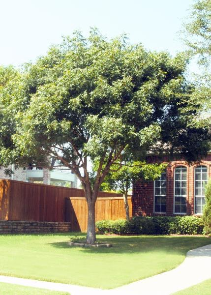 Chinese Pistachio trees are non-native but offer a large canopy of shade. : large canopy trees - memphite.com