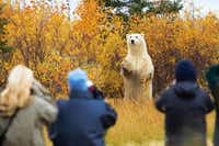 Polar bear sightings  are common on tours with Churchill Wild, which has three lodges on Hudson Bay in northern Manitoba.(Jerry Grajewski - Jerry Grajewski)