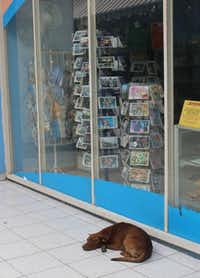 Friendly street dogs are ubiquitous in Havana, looking well-fed. This one seemed happy outside a souvenir shop.( Joy Tipping  -  Staff )