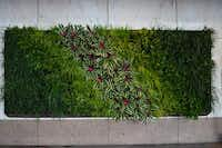 A living wall of grasses and plants converts vehicle carbon emissions into oxygen at the entrance of The Fairmont Dallas.