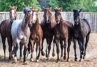 Darren Blanton owns 45 horses from High Brow Cat's line. The 1,300-plus offspring have netted more than $70 million in prize money in the Western performance horse world.( Peter Robbins Fine Art and Photography )