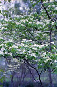 The pristine white flowers of the dogwood begin to bloom before leaves unfurl.(File - Staff Photo)
