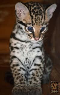 The ocelot kitten born at the Dallas Zoo on March 20. (Courtesy: The Dallas Zoo)
