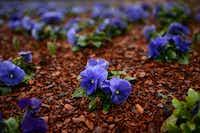 Grandio true blue pansies bloom at the Dallas Arboretum.Photos by Rose Baca