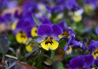 A velocity lemon and plum picotee viola shows off its bright colors.Rose Baca