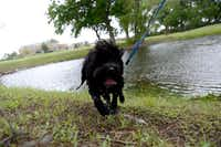 Parks and Recreation Advisory Board member Lorri Goddard's dog Poco is photographed at R J McInnish Park in Carrollton. The board approved a recommendation June 23 for a possible dog park to be built at the park, and is awaiting city council approval.ROSE BACA  -  neighborsgo staff photographer