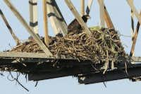 An eaglet appeared in the nest at John Bunker Sands Wetland Center in April 2015. (2015 File Photo/Smiley N. Pool)