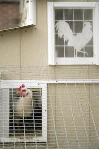 The annual Peep at the Coops tour of city chicken habitats is Sunday. Start at Stonewall Jackson Elementary at East Mockingbird and Matilda.Denny Simmons  -  AP