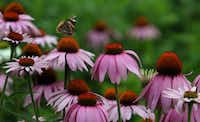 A red admiral butterfly feeds on purple coneflowers in a prairie planting behind a house in Marshfield, Wis.