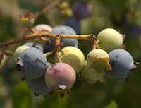 Blueberries at various stages of ripeness