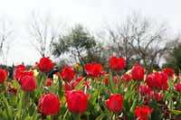 Red tulips on decorate the Jonsson Color Garden during the Dallas Blooms floral festival, on Wednesday, March 19, 2014 at the Dallas Arboretum in Dallas.Ben Torres - Special Contributor