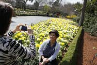 Laura Nguyen photographs her sister Christine Nguyen with a bed of daffodils along The Paseo during the Dallas Blooms floral festival, on Wednesday, March 19, 2014 at the Dallas Arboretum in Dallas.Ben Torres - Special Contributor
