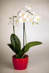 Light-loving orchids can bloom for weeks indoors.OSCAR HIDALGO -  The New York Times