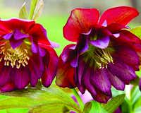 'Winter Jewels Berry Swirl'(Walters Gardens)