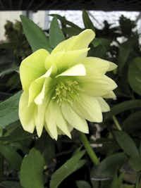 'Golden Lotus 2'(Walters Gardens)