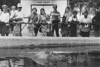Visitors to the Dallas Zoo watched a river hippopotamus lounging in a pool in 1990. (File Photo/Staff)