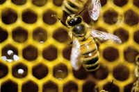 Honeybee pollination is a big business, adding more than $15 billion in value to agricultural crops each year in the United States, according to the U.S. Department of Agriculture Agricultural Research Service.(ANDY DUBACK - AP)