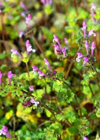 For broadleafed weeds, like henbit, you can apply a pre-emergent weedkiller to your lawn now to prevent germination, but there is also an opportunity to apply a herbicide in November or late February.Photo submitted by NEIL SPERRY