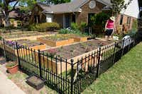 Carol Garrison tends to the garden in her yard. Garrison and Daniel Bell refer to themselves as urbanites and have dedicated the past two years to covering almost every inch of their yard with an assortment of fruits and veggies.(Rose Baca - neighborsgo staff photographer)