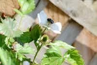 A bright blue honey bee gets nectar from Carol Garrison and Daniel Bell's home garden in Garland.(ROSE BACA - neighborsgo staff photographer)