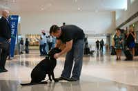 Former Marine Robert Hulsey and greets Jjoe, a retired U.S. Marine Corps Improvised Detection Dog, while picking him up at Dallas Love Field Airport.(Rose Baca)