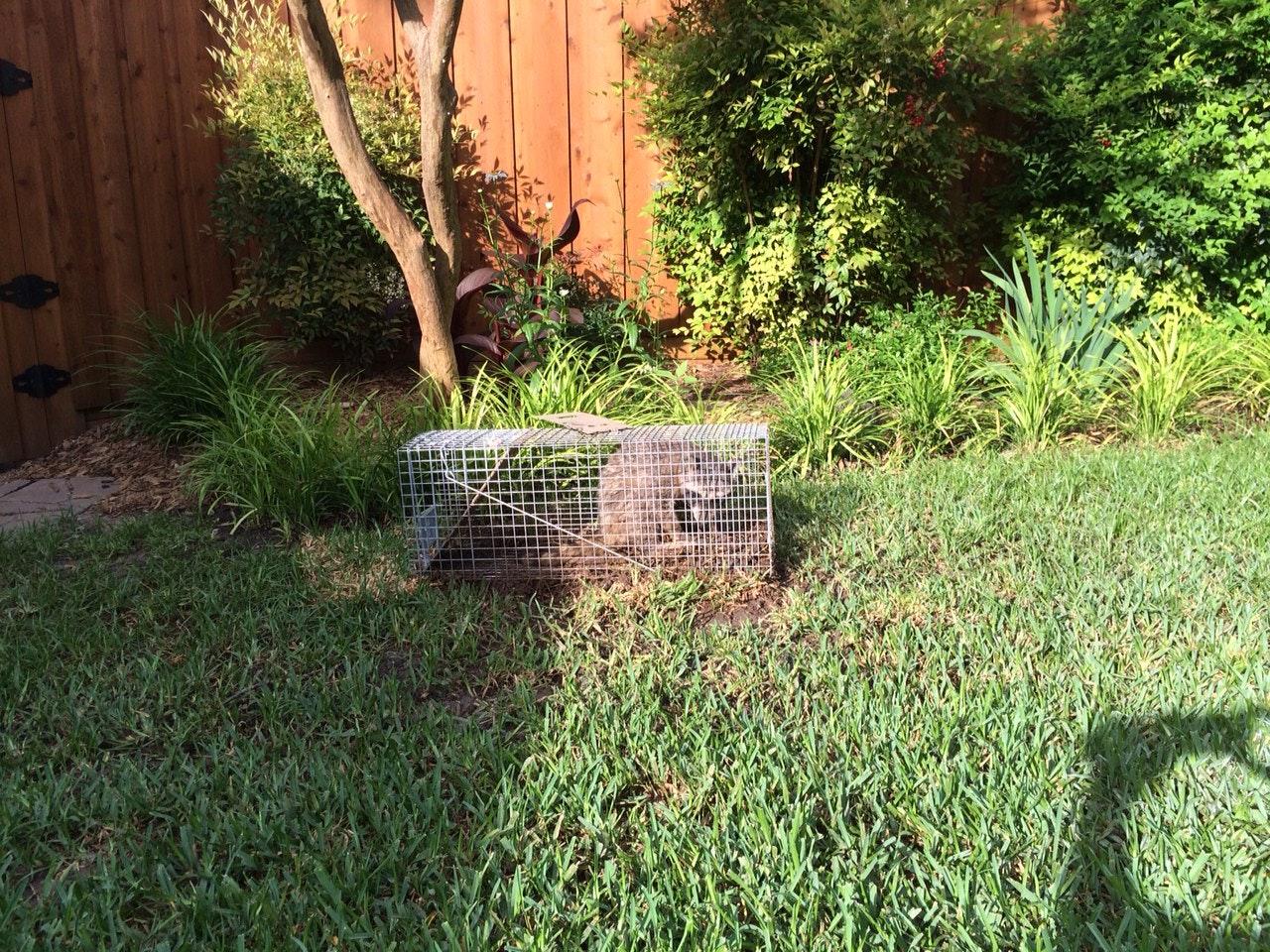 My East Dallas Backyard: The Local Raccoon Latrine Of Choice | Opinion |  Dallas News