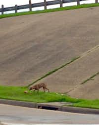 This dog, which has wandered the property of Barbara Manns Education Center for weeks, as well as along the nearby I-35-Kiest intersection. (Mary Anna Valdez photo)