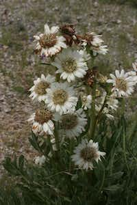 Silphium albiflora. white compass plant. White Rosin Weed or White Compass Plant is a perennial native to north Texas and rarely ever seen, much less offered for sale.  Naturally found on bare rock. beautiful plant that looks like a florist white mum!  Unlike all the other Rosin Weeds (Silphiums), it is not tall and yellow like a sunflower, but forms an attractive mound to perhaps three foot around.  Like the other rosin weeds, it is very attractive to butterflies and other pollinators while also being extremely tough and drought resistant.