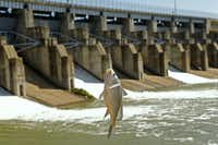 Lavon Lake was jumping this week after the Army Corps of Engineers opened the gates for flood control. A bass was caught over the spillway.( Nathan Hunsinger  -  Staff Photographer )