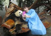 Gaba takes a photo with a panda at the Chengdu Research Base of Giant Panda Breeding in China.(Photo submitted by JAKE GABA)