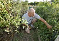John Reas picks peppers from the plot he maintains at the Plano Community Garden.