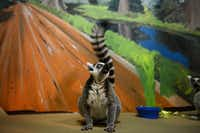 Uno, a ring-tailed lemur, pauses during feeding time in his enclosure at McKinney's Heard Natural Science Museum and Wildlife Sanctuary on April 9. Grad students from the University of North Texas' Department of Behavior Analysis are training the Heard's two lemurs as part of a volunteer initiative through the nonprofit student Organization for Reinforcement Contingencies with Animals.( Rose Baca  -  neighborsgo staff photographer )