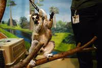 Uno, a ring-tailed lemur, touches his target, a plastic ring, as part of his training at McKinney's Heard Natural Science Museum and Wildlife Sanctuary .ROSE BACA - neighborsgo staff photographer