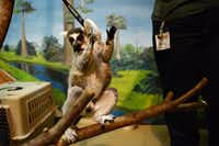 Uno, a ring-tailed lemur, touches his target, a plastic ring, as part of his training at McKinney's Heard Natural Science Museum and Wildlife Sanctuary .(ROSE BACA - neighborsgo staff photographer)